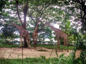 Жирафы в зоопарке Сингапура